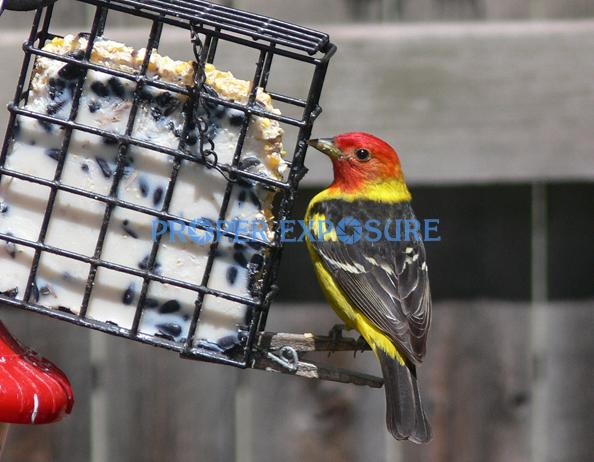 Western, Tanager, wildlife, bird, feeding, feeder, Ken Proper, Steamboat, Springs, Colorado, Rocky Mountain, CO