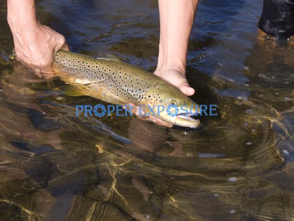 Brown trout, trout, Salmo trutta, river, sun, safe, release, caught, catch, reflections, fishing, fly fishing, colorful, spotted, recreation, rock, rocks, gently, Rocky Mountains, Yampa, River, human, hands,