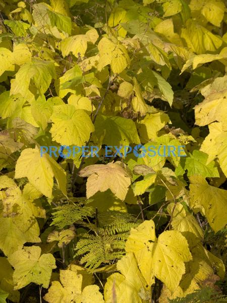 fall, foliage, aspen, scrub oak, yellow, fern, leaves, plants