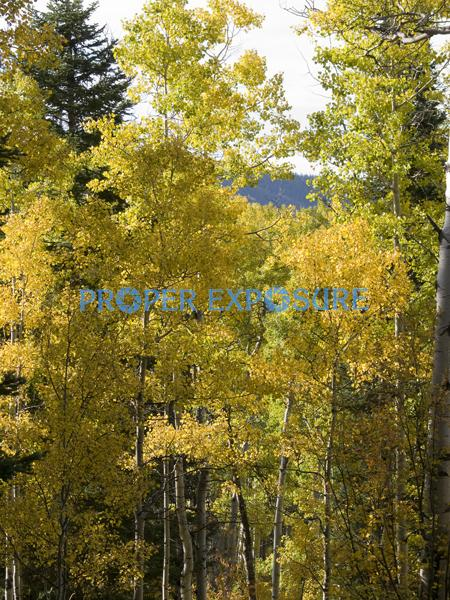 fall foliage, aspen, evergreen, spruce, scrub oak, clouds, blue, sky