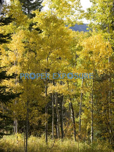 fall, foliage, aspen, evergreen, spruce, scrub oak, clouds, blue, sky, mountain