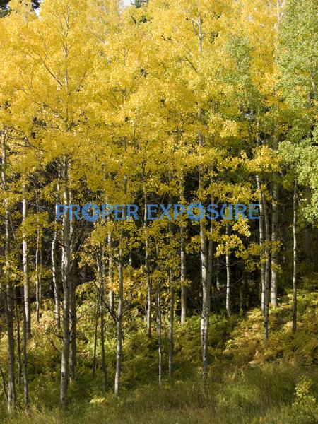 fall, foliage, aspen, evergreen, spruce, scrub oak, clouds, blue, sky, mountain, undergrowth, ferns, sunny