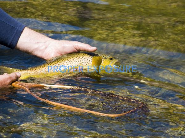Brown trout, trout, Salmo trutta, river, sun, safe, release, caught, catch, reflections, fishing, fly fishing, colorful, spotted, recreation, rock, rocks, gently, Rocky Mountains, Green, River, human, hands, net