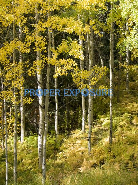 Fall foliage, trees, aspens, ferns, Steamboat Springs, Colorado, yellow, green, Routt, National, Forest
