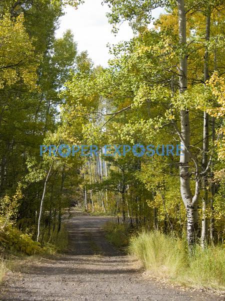 Fall foliage, trees, aspens, ferns, Steamboat Springs, Colorado, yellow, green, Routt, National, Forest, gravel, road